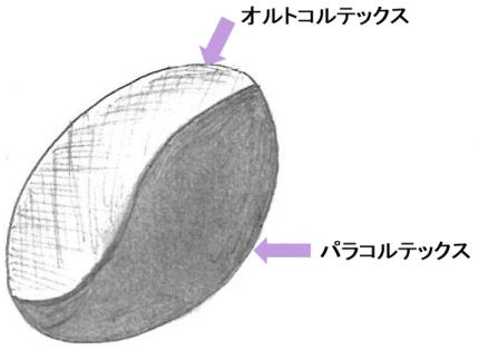 毛髪の断面2